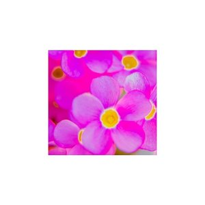 ポストカード・ピンクのオキザリス|photoroom-g