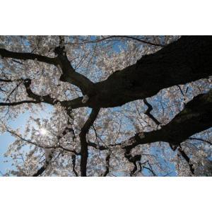 サクラ・ソメイヨシノ・桜ポストカード|photoroom-g