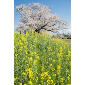 桜と菜の花のポストカード|photoroom-g