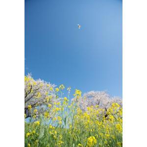 桜と菜の花・サクラ、ナノハナポストカード|photoroom-g