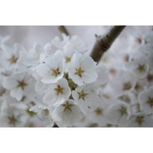 サクラ・ソメイヨシノ・桜アップポストカード|photoroom-g