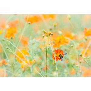 キバナコスモスとハチポストカード photoroom-g