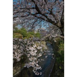 桜・御室川ポストカード|photoroom-g