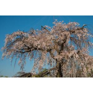 枝垂れ桜・円山公園ポストカード|photoroom-g
