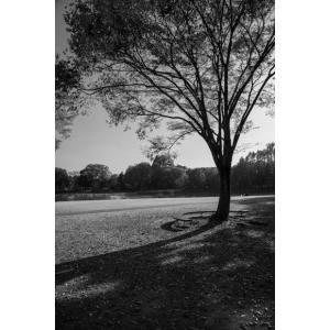 公園の木モノクロポストカード|photoroom-g