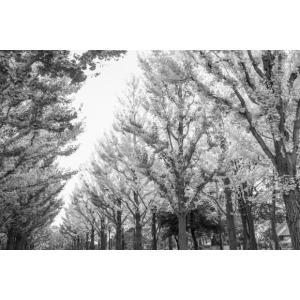 イチョウ並木モノクロポストカード|photoroom-g