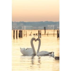 白鳥たち・ハートポストカード|photoroom-g