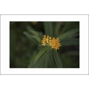 小笠原黄色い花のポストカード|photoroom-g