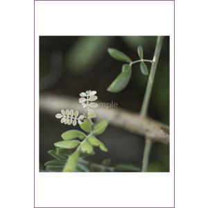 小笠原若い芽ポストカード|photoroom-g