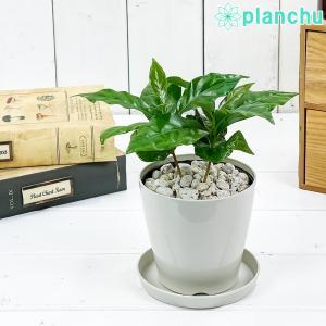 観葉植物 コーヒーノキ アラビカ 3.5号鉢 受け皿付き 育て方説明書付き Coffea arabica コーヒーの木 珈琲の木 アラビカコーヒー planchu