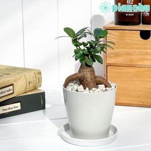 観葉植物 ガジュマル 3.5号鉢 受け皿付き 育て方説明書付き Ficus microcarpa フィカス ミクロカルパ planchu