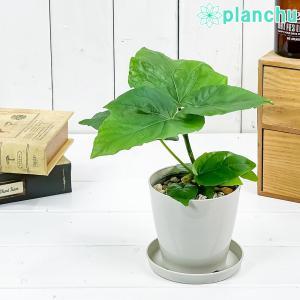 観葉植物 フィカス ウンベラータ 3.5号鉢 受け皿付き 育て方説明書付き Ficus umbellataの画像