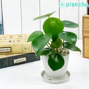 観葉植物 ペペロミア ジェイド 3.5号鉢 受け皿付き 育て方説明書付き Peperomia obtusifolia 'Jade' planchu
