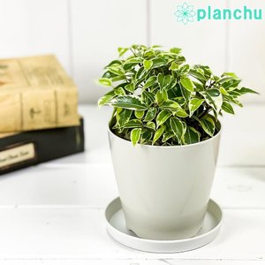 観葉植物 フィカス ベンジャミン ラブリー 3.5号鉢 受け皿付き 育て方説明書付き Ficus benjamina 'Lovely' 幸運を呼ぶ木 ゴムノキ ゴムの木 planchu