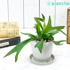 観葉植物 コウモリラン 3.5号鉢 受け皿付き 育て方説明書付き Platycerium プラティケリウム ビカクシダ シダの画像