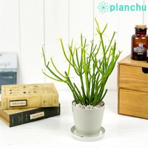 多肉植物 ユーフォルビア ティルカリ ファイヤースティック 3.5号鉢 受け皿付き Euphorbia tirucalli 'Fire Sticks' スティックオンファイヤー 観葉植物|planchu