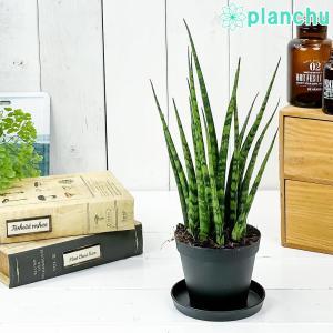 多肉植物 サンスベリア ファンウッド ミカドタイプ 3号ポット 育て方説明書付き Sansevieria|planchu