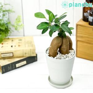 観葉植物 ガジュマル 4号鉢 受け皿付き 育て方説明書付き Ficus microcarpa フィカス ミクロカルパ 精霊の宿る木 planchu