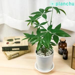 観葉植物 パキラ ストレート 4号鉢 受け皿付き Pachira glabra