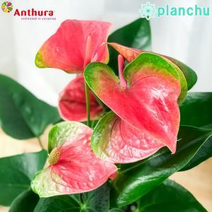 観葉植物 アンスリウム スイートドリーム 6号鉢 底面吸水鉢タイプ Anthurium andraeanum アンスリューム 鉢花 アンスラ Anthura|planchu