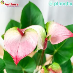 観葉植物 アンスリウム プリンセス アマリアエレガンス 6号鉢 底面吸水鉢タイプ Anthurium andraeanum アンスリューム 鉢花 アンスラ Anthura|planchu
