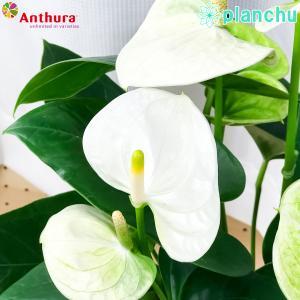 観葉植物 アンスリウム シエラホワイト 6号鉢 底面吸水鉢タイプ Anthurium andraeanum アンスリューム 鉢花 アンスラ Anthura|planchu