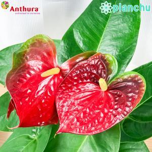 観葉植物 アンスリウム エジソン 6号鉢 底面吸水鉢タイプ Anthurium andraeanum アンスリューム 鉢花 アンスラ Anthura|planchu