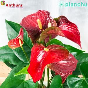 観葉植物 アンスリウム バンビーノレッド 6号鉢 底面吸水鉢タイプ Anthurium andraeanum アンスリューム 鉢花 アンスラ Anthura|planchu