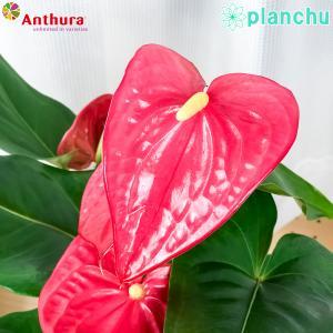 観葉植物 アンスリウム メイン 6号鉢 底面吸水鉢タイプ Anthurium andraeanum アンスリューム 鉢花 アンスラ Anthura|planchu