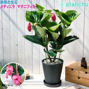 熱帯花木 メディニラ マグニフィカ フラメンコ 8号鉢 開花株 受け皿付き Medinilla magnifica 'Flamenco' 観葉植物 鉢花|planchu
