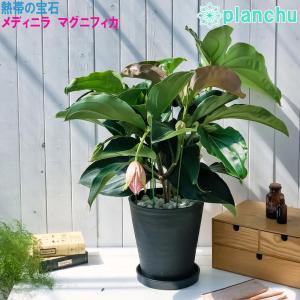 熱帯花木 メディニラ マグニフィカ パステルピンク 8号鉢 受け皿付き 育て方説明書付き Medinilla magnifica 観葉植物 鉢花|planchu