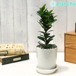 観葉植物 ガジュマル ベビーリーフ 4号鉢 受け皿付き 育て方説明書付き フィカス 矮性ガジュマル ゴムノキ ゴムの木 planchu