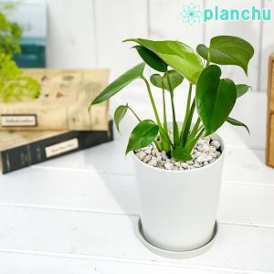 観葉植物 モンステラ 4号鉢 受け皿付き 育て方説明書付き Monstera planchu