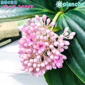 熱帯花木 メディニラ スペキオサ 5号鉢 受け皿付き 説明書付き Medinilla speciosa 観葉植物 鉢花 サンゴノボタン|planchu