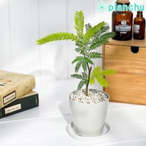 観葉植物 エバーフレッシュ 3.5号鉢 受け皿付き 育て方説明書付き Cojoba arborea var. angustifolia ネムノキ planchu