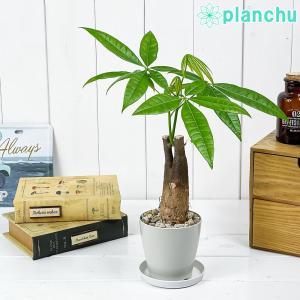 観葉植物 パキラ 朴 3.5号鉢 受け皿付き 育て方説明書付き Pachira glabra 発財樹|planchu