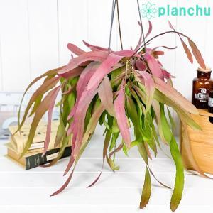 観葉植物 プセウドリプサリス ラムローサ 5号吊り鉢 Pseudorhipsalis ramulosa サボテン 森林性サボテン レア|planchu