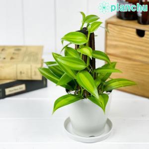 観葉植物 バニラの木 3.5号鉢 受け皿付き 育て方説明書付き Vanilla planifolia 洋ラン|planchu