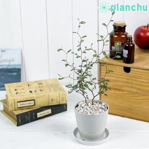 観葉植物 メルヘンの木 ソフォラ リトルベイビー 3.5号鉢 受け皿付き 育て方説明書付き Sophora prostrata 'Little Baby' プロストラータ planchu