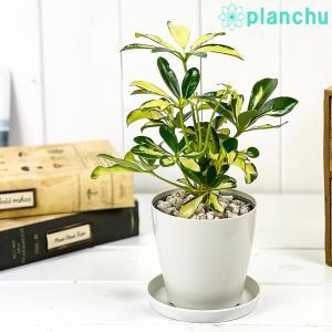 観葉植物 シェフレラ アルボリコラ トリネッティ 3.5号鉢 受け皿付き 育て方説明書付き Schefflera arboricola 'Trinette' ホンコン カポック 斑入り レア planchu