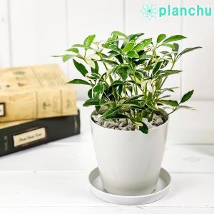 観葉植物 シェフレラ アルボリコラ ムーンドロップ 3.5号鉢 受け皿付き 育て方説明書付き Schefflera arboricola 'Moondrop' ホンコン カポック 斑入り レア planchu