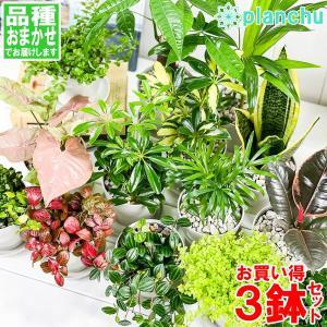 観葉植物 お試しミニ観葉 3種セット 品種おまかせ 3.5号鉢 受け皿付き 育て方説明書付き|planchu