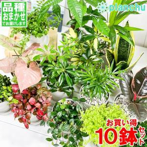 観葉植物 お試しミニ観葉 10種セット 品種おまかせ 3.5号鉢 受け皿付き 育て方説明書付き|planchu