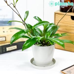 観葉植物 ホヤ プビカリクス シルバーピンク 3.5号鉢 受け皿付き 育て方説明書付き Hoya pubicalyx 'Silver Pink' 多肉植物 ガガイモ サクララン 桜蘭 planchu