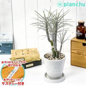 観葉植物 モンキーツリー 4号樹脂鉢 ホワイト 受け皿付き 育て方説明書付き Senecio kleinia neriifolia セネシオ クレイニア 天竜 多肉植物|planchu