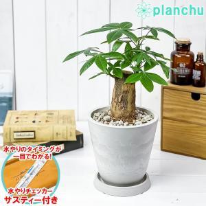 観葉植物 パキラ 朴 5号樹脂鉢 ホワイト 受け皿付き 育て方説明書付き Pachira glabra 発財樹 実生|planchu