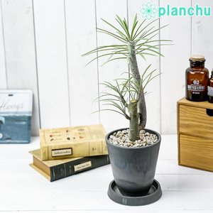 観葉植物 モンキーツリー 4号樹脂鉢 ダークグレー 受け皿付き 育て方説明書付き Senecio kleinia neriifolia セネシオ クレイニア 天竜 多肉植物|planchu