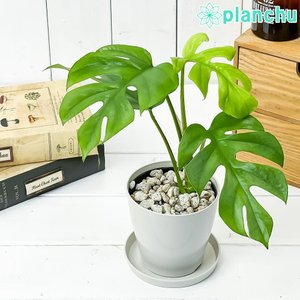 観葉植物 ヒメモンステラ 3.5号鉢 受け皿付き 育て方説明書付き Rhaphidophora tetrasperma ラフィドフォラ テトラスペルマ モンステラ planchu