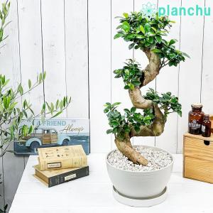 観葉植物 ガジュマル 昇り竜 8号鉢 受け皿付き 育て方説明書付き Ficus microcarpa フィカス ミクロカルパ 精霊の宿る木 planchu