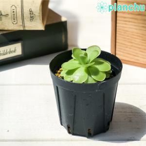 食虫植物 ムシトリスミレ ピンギキュラ 福丸 2号鉢 Pinguicula agnata × colimensis|planchu